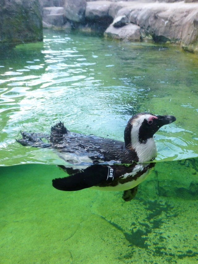 One of the first exhibits is the penguins.  This one is named Elvis--see the tag around his flipper?  It was fun watching them interact and learning about their lives at the Aviary.  Black and White décor is a classic color scheme and the Penguins wear their tuxedo style very well!