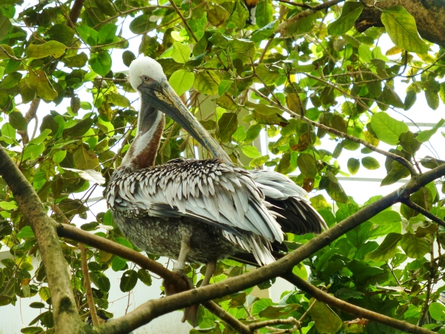 Here's another shot of a majestic Pelican.  It looks so regal sitting in the branches of this tree!
