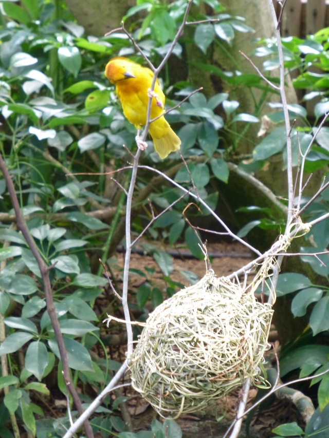 This vibrant yellow and orange bird created a fantastic woven nest.  Isn't the texture a marvel?