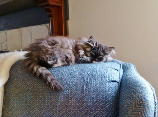 Silvia the Siberian Kitten enjoys a favorite perch in the sunshine.