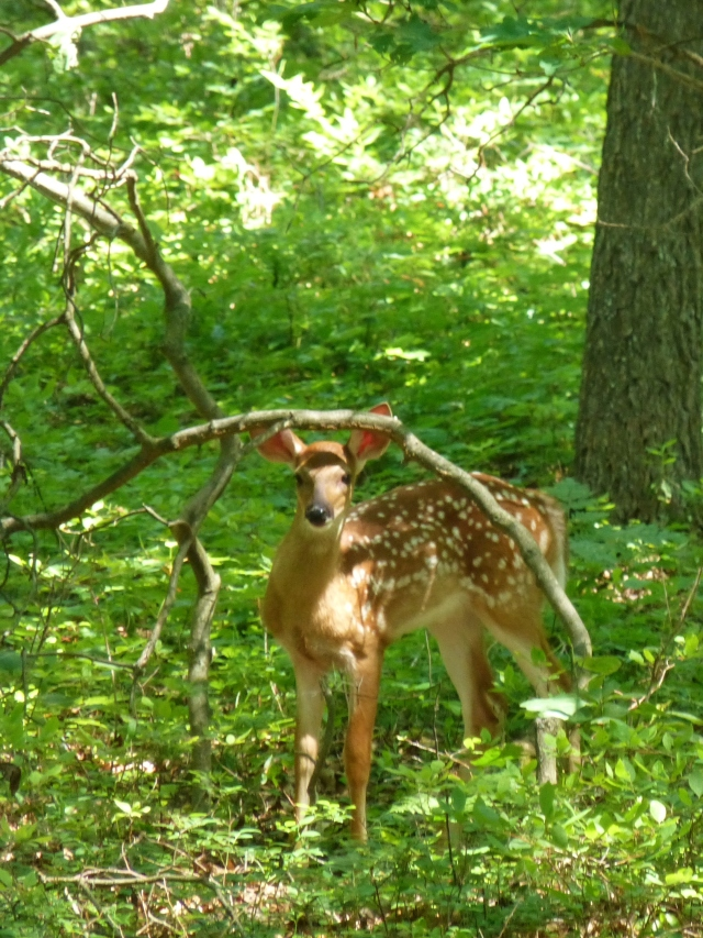 Deer Spotted Faun Bear Creek Lakes Southern Poconos Kristine Robinsons Interiors (2)