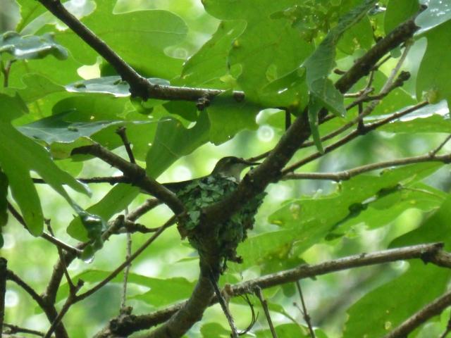 Hummingbird Nesting at The Shack Southern Poconos Jim Thorpe PA Kristine Robinsons Interiors (2)